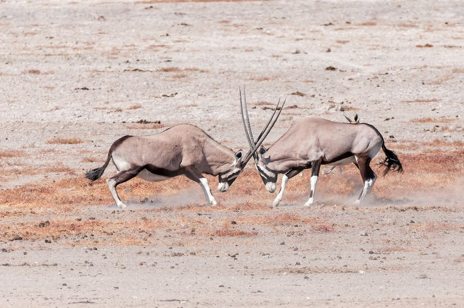 Two oryx (also called gemsbok), Oryx gazella, fighting in Northern Namibia